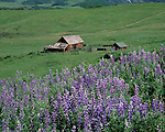 Lupine wildflowers and old barn, Telluride, Colorado, USA. .  John leads private photo tours in Telluride and the San Juan Mountains. Year-round Colorado photo tours.
