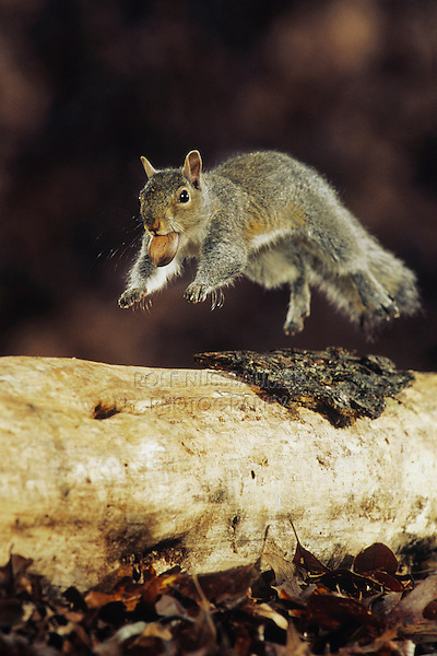 Eastern gray squirrel (Sciurus carolinensis), adult running with acorn in mouth, Raleigh, Wake County, North Carolina, USA