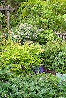 Kolkwitzia Dreamcatcher, Syringa Palibin, Acer griseum, Geranium Samobor, Helleborus, Phlox, fence, spring garden scene, trellis, Nemesia Elph Dark Blue