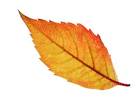 Fallen Autumn Leaf - Brightly coloured laeves.