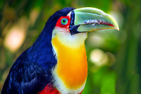 Colorful, exotic tucano-toco toucan bird close-up portrait in natural setting, at Iguazu Falls in Iguacu National Park, Iguazu, Brazil and Argentina