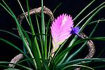 Bromeliad Tillandsea.  Houseplant in bloom.