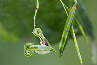 Kleinblütiges Springkraut, Kleines Springkraut, Kapselfrucht, Frucht vom Springkraut, Kapsel schleudert ihren Samen aus, Ausbreitung der Samen durch einen Schleudermechanismus, Saftdruckstreuer, Hygroballochoren, Impatiens parviflora, Small Balsam