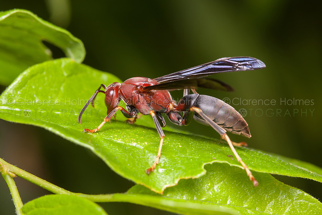 A female Paper Wasp (Polistes metricus), a.k.a. Metric Paper Wasp, perches on a leaf.