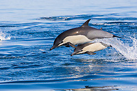 common dolphin, Delphinus delphis, jumping dolphins splashing at surface, nine-mile bank, San Diego, California, USA, Pacific Ocean