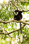 Mantled Colobus (Colobus guereza) young in tree, Kibale National Park, western Uganda