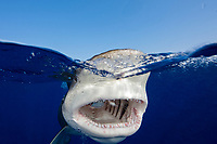 oceanic whitetip shark, Carcharhinus longimanus, gulping bait, Columbus Point, Cat Island, Bahamas, Atlantic Ocean