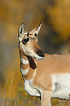 Pronghorn Antelope Doe with Fall Colors