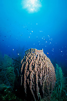 giant barrel sponge, Xestospongia muta, Belize, Central America (Caribbean Sea)