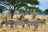 Plains zebra, Equus quagga, Tarangire National Park, Tanzania, Africa