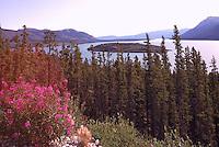 Tagish Lake along Highway 2, Yukon Territory, Canada - Fireweed and Boreal Forest, Klondike Region