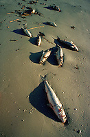 Fish kill - dead fish killed by pollution washed up on a beach.