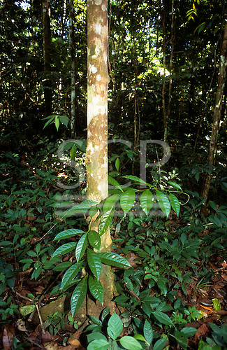 Amazon, Brazil. A green seedling, growing up a small tree in the forest.