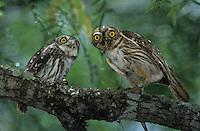 Ferruginous Pygmy-Owl, Glaucidium brasilianum, adult feeding lizard to young, Willacy County, Rio Grande Valley, Texas, USA, June 2004