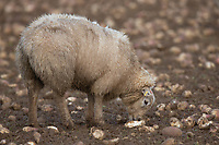 29-1-2021 Store lambs grazing stubble turnips in Rutland<br /> ©Tim Scrivener Photographer 07850 303986<br />      ....Covering Agriculture In The UK....