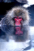 A Japanese macaque, a.k.a. Snow Monkey, at Jigokudani (Hell Valley) in Nagano Prefecture, Japan. Japanese snow monkeys live in extreme conditions where winter temperatures can drop to -20 c, and they are unique in taking hot bath, known as an Onsen..18 Jan 2011