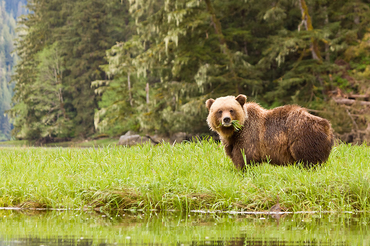 Grizzly standing by the shore with a mouthful of grass