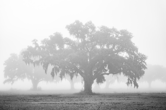 Oak trees on a foggy morning in a small town on the banks of rhe Mississippi River, Louisiana.