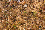 White-tailed buck scrape
