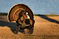 Tom Turkey strutting, San Angelo, Texas
