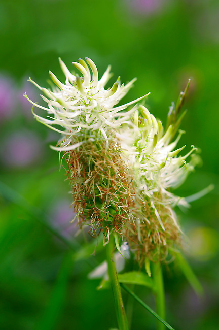 Wild alpine meadow flower - Grindelwald Switzerland