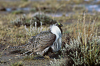 Male sage grouse among sagebrush after spring rain.  Western U.S.