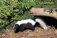 MA09-009z  Striped Skunk - in forest - Mephitis mephitis