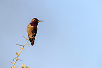 Anna's Hummingbird (Calypte anna), male resting at the Riparian Preserve at Water Ranch, Gilbert, Arizona.