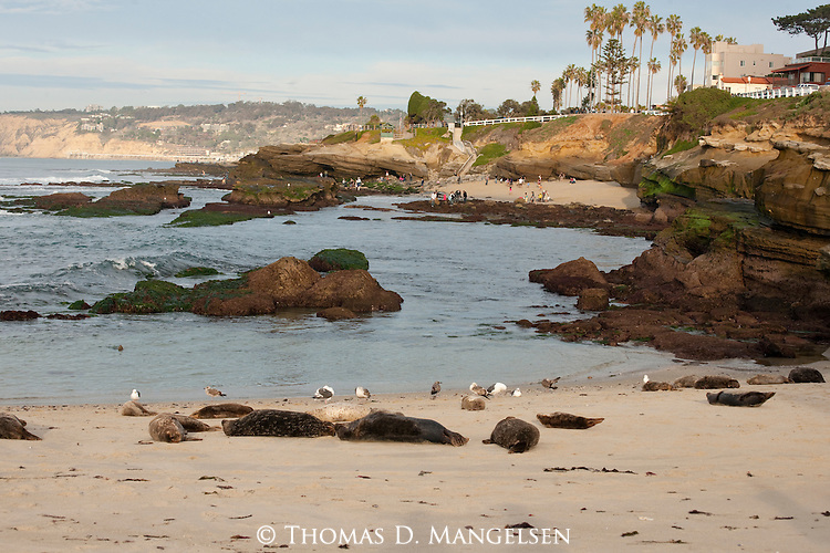 Gulls and harbor seals on the beach in La Jolla, California