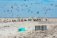 brown pelican, Pelecanus occidentalis, with plastic wastes on the beach at Isla de Patos, Magdalena Bay, Baja California, Mexico, Pacific Ocean