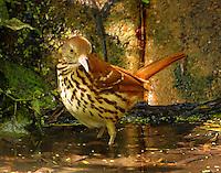 Adult brown thrasher bathing