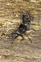 Schwarzer Moderkäfer, Schwarzer Moderkurzflügler, Ocypus olens, Staphylinus olens, devil's coach-horse
