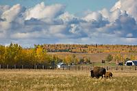Buffalo farm, Delta Junction, Alaska.