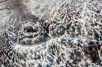 gray whale, Eschrichtius robustus, eye, San Ignacio Lagoon, Baja California Sur, Mexico, Gulf of California, Sea of Cortez, Pacific Ocean
