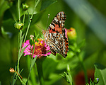Painted Lady butterfly feeding on a Zinnia flower. Image taken with a Nikon D850 camera and 300 mm f/2.8 VR lens + 2.0 TC-EIII teleconverter