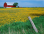 Manitowoc County, WI<br /> Red barn with fence and field of spring dandelions