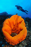 Elephant ear sponge, Acanthella sp, with scuba diver, Bonaire, Netherlands Antilles, Caribbean, Atlantic, MR