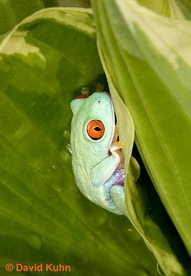 0306-0908  Red-eyed Tree Froglet (Young Frog), Agalychnis callidryas  © David Kuhn/Dwight Kuhn Photography.