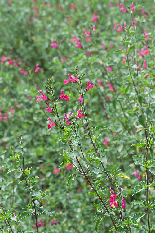 Blackcurrant sage (Salvia microphylla var. microphylla), early August.