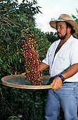 Sao Paulo State, Brazil. Coffee picker throwing coffee beans in the air from a sieve.