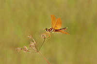 304560003c a wild eastern amberwing dragonfly perithemis tenera perches on a dead flower stalk at hornsby bend travis county texas
