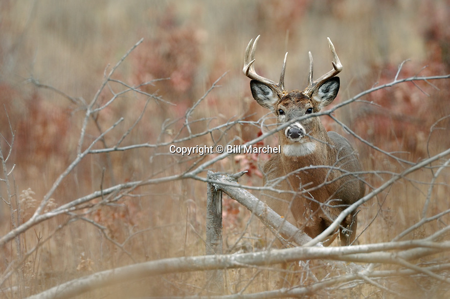 00274-308.10 White-tailed Deer Buck (DIGITAL) with 10 point antlers is in overgrown clearcut during fall.  Hunt, whitetail, rut, browse.  H3F1