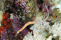 Banded pipefish (scientific name: Corythoichthys intestinalis), fish, off Hamata coast, Egypt, Red Sea.