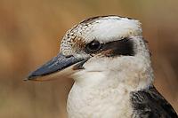 Kookaburra (Dacelo gigas), adult portrait, Australia