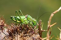 Kantige Sattelschrecke, Männchen, Uromenus rugosicollis, Ephippiger rugosicollis, Rough backed bush cricket, Rough backed bush-cricket, male, Tettigoniidae