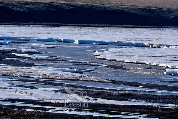 Barren ground caribou crossing ice still blocking Aichilik River, Arctic National Wildlife Refuge, Alaska, Summer.