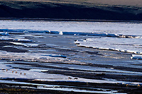 Barren ground caribou crossing ice still blocking Aichilik River, Arctic National Wildlife Refuge, Alaska, Summer.