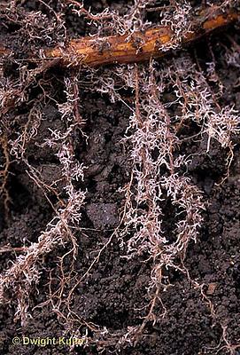 TT18-037d  Oak - fibrous roots, root hairs - Quercus spp.