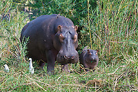 Mother Hippo w baby and Red-billed Oxpecker, Shire River, Liwonde NP, Malawi