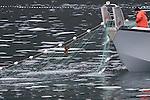 Salmon fisherman using gill net in Prince William Sound, Alaska
